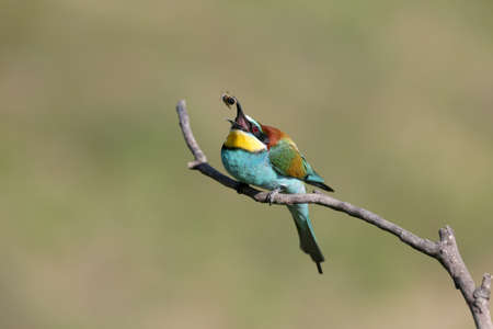 European bee-eater. Bright birds with beautiful plumage. They were shot in the spring during the mating season near Odessa. 版權商用圖片