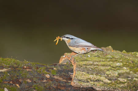 European nuthatch keeps in the beak of flour worms. Shooted with flash Stock Photo