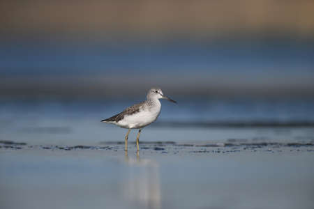 Greenshank watching photographer. Photo was made on Tiligul estuare. Soft morning light after sunrise. 스톡 콘텐츠