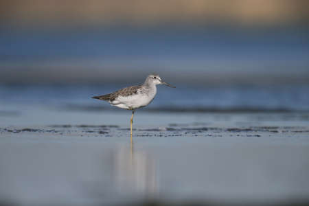 Greenshank watching photographer. Photo was made on Tiligul estuare. Soft morning light after sunrise. Stock Photo