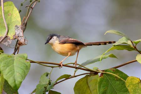 ashy prinia or ashy wren-warbler