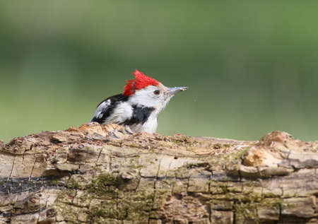 Middle spotted woodpecker with crest ot head