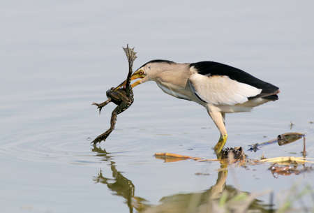 A male of little bittern succefull hunt.With a frogg in beak.
