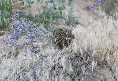 A little owl sitting on ground and eats snake.