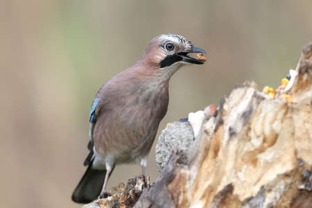 Close-up and detailed portrait of a Eurasian jay sitting on a log  on a smooth blurred green background. Full size non-crop shot