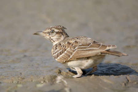 Crested Lark is looking for food in a mud puddle Stock Photo