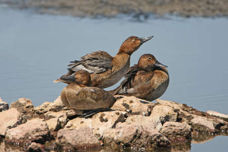A warm company of  three female of  a common pochard rests on the rocks