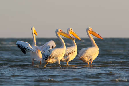 A flock of white pelican stand on the water  in morning light