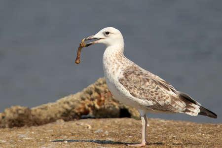 Young caspian gull with a chicken bone in its beak Stock Photo