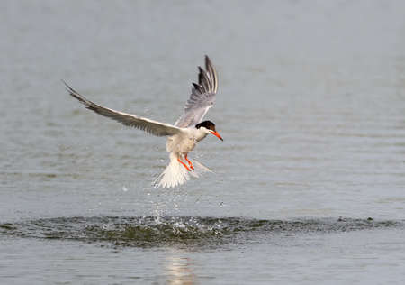 the tern came out of the water Stock Photo