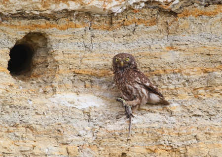 Adult little owl with a lizzard in beak sits near their nest