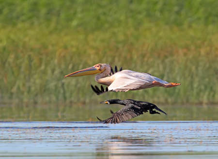 Cormorant competes in speed with a white pelican