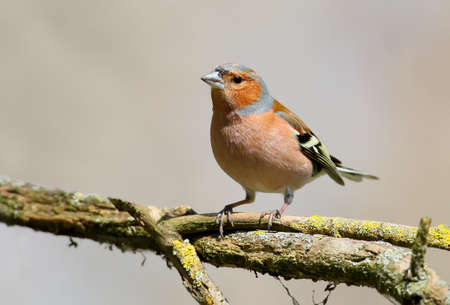 Portrait of a chaffinch in the morning light