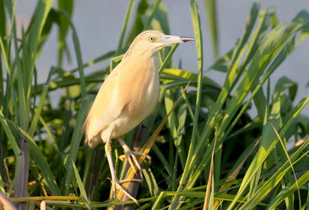 The squacco heron (Ardeola ralloides) in breeding plumage with amazing morning light.