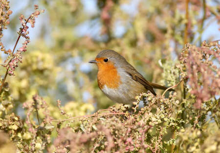 European robin (Erithacus rubecula) in beautiful soft  sunlight. The identifications signs of the bird and the structure of the feathers are clearly visible.