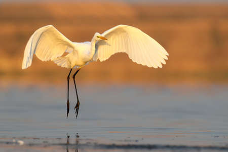 Great white heron landing on the water early morning. Unusual perspective and soft morning light. Great white heron photograped in amazing soft morning light.