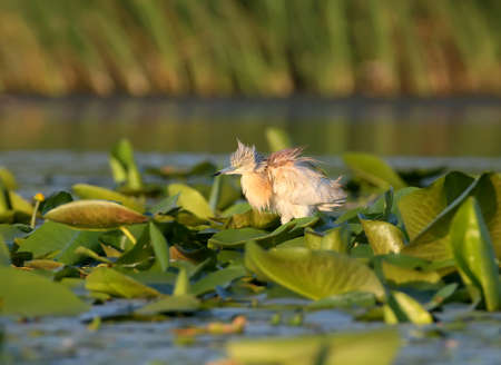 Squacco heron in natural habitat with soft morning light.