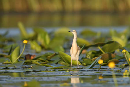 Squacco heron and flower in natural habitat with soft morning light. Stock Photo