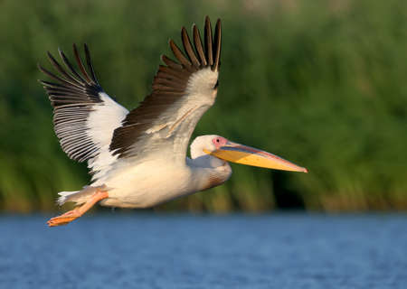 White pelican flight toward sunrise and watch photographer.