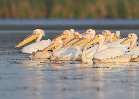 A flock of white pelicans in the soft morning light floats along the lake. Stock Photo