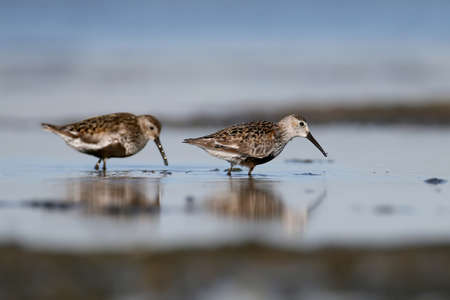 Two feeding Dunlin. The photo shows the defining signs of the Dunlin. Well blurred background. Morning soft light. Filmed on Tiligul estuary during migration Stock Photo