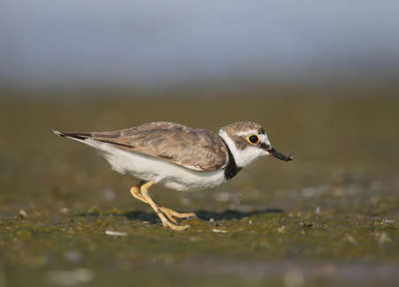 A little ringed plover with food in beak. This little ringed plover was photographed early on Tiligulsky estuary, Ukraine. The bird is shot very close-up in the soft morning light. Stock Photo