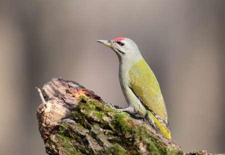 Gray-headed woodpecker portrait on a blurred background