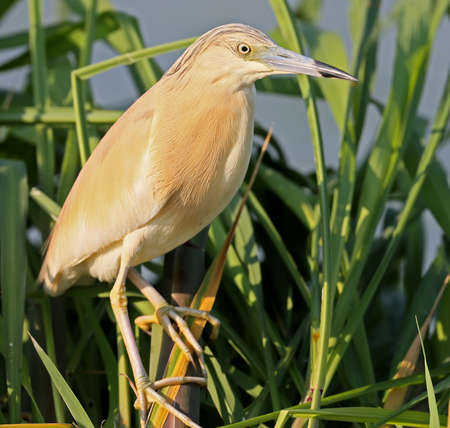 Squacco heron in breeding plumage posing for photographer on the reed. amazing morning light. Nice blurry background.The identifications signs of the bird and the structure of the feathers are clearly visible. Stock Photo