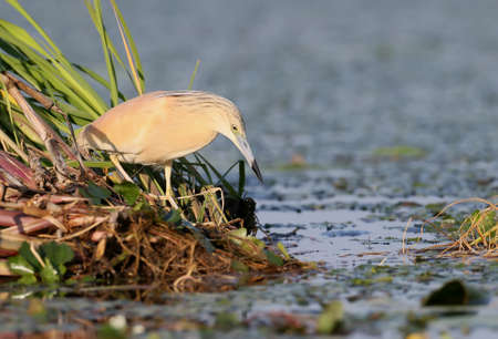 Squacco heron in breeding plumage hunting from the reed. amazing morning light. Nice blurry background.The identifications signs of the bird and the structure of the feathers are clearly visible. Stock Photo