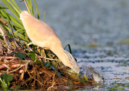 Squacco heron in breeding plumage fishing on the reed. amazing morning light. Nice blurry background.The identifications signs of the bird and the structure of the feathers are clearly visible.
