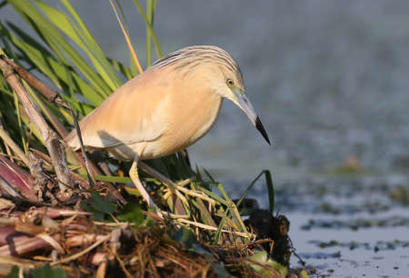 Squacco heron in breeding plumage posing for photographer on the reed.