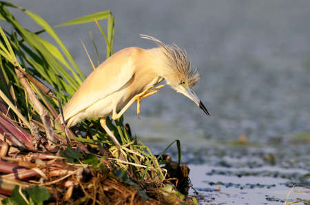 Squacco heron in unusual pose in soft morning light.