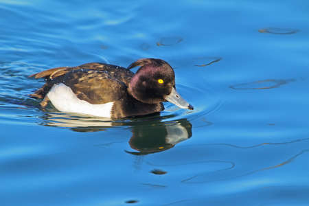 The tufted duck (Aythya fuligula) portrait with water reflection.Beautiful soft sunlight.