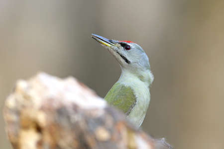 Portrait og gray headed woodpecker in soft sunlight.Closeup and detailed. Stock Photo