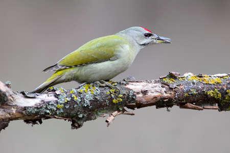 Grey woodpecker closeup portrait