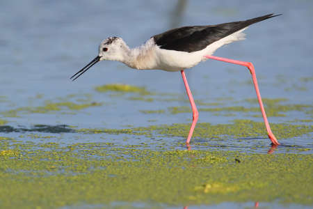 Close up portrait of black winged stilt wit red legs.