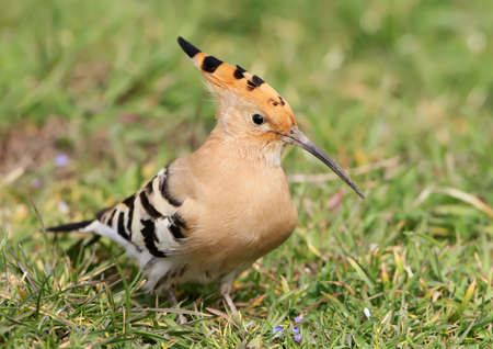 Fat hoopoe on the ground. Stock Photo