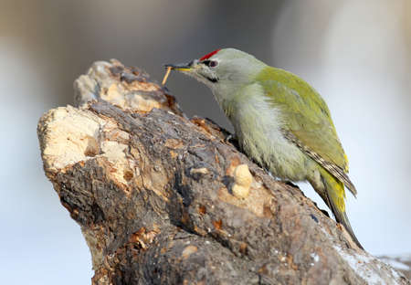 Male grey woodpecker on the tree eats a worm. Close up portrait