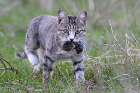 A domestic cat caught a field mouse and carried it to the owner