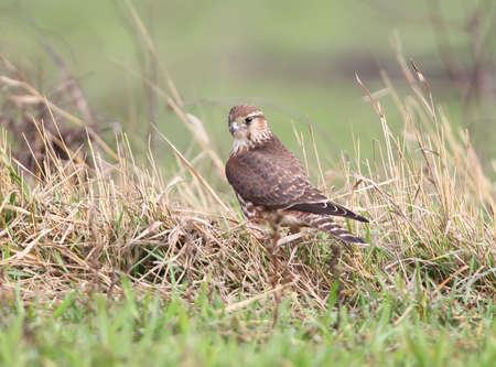 The Merlin (Falco columbarius) female portrait. Standard-Bild