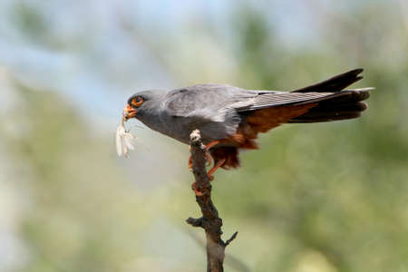 A male of red footed falcon sits on the branch with a mantis in beak Stock Photo