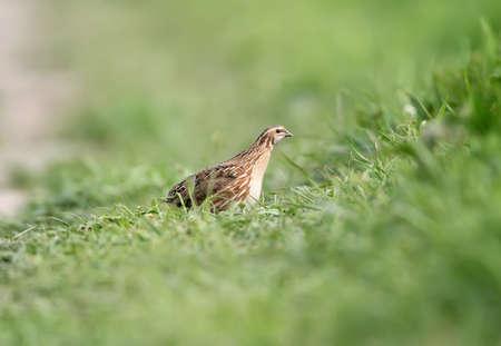 A female common quail (Coturnix coturnix) or European quail in natural habitat