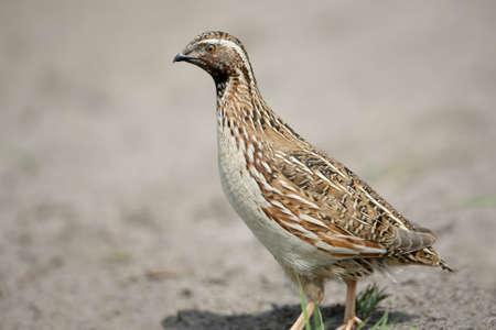 일반적인 메 추 라 기 (Coturnix coturnix) 또는 유럽 메 추 라 기 추가 초상화를 닫습니다. 새의 식별 표시와 깃털의 구조가 명확하게 표시됩니다. 스톡 콘텐츠