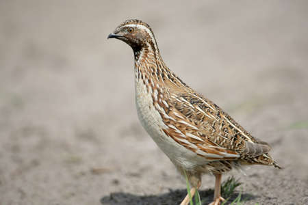 The common quail (Coturnix coturnix) or European quail extra close up portrait. The identifications signs of the bird and the structure of the feathers are clearly visible.