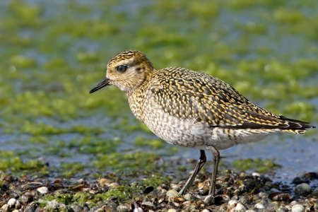 Very close photo of golden plover in winter plumage. Stock Photo