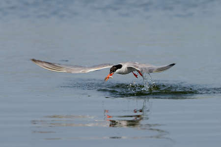 Common tern fishing and diving