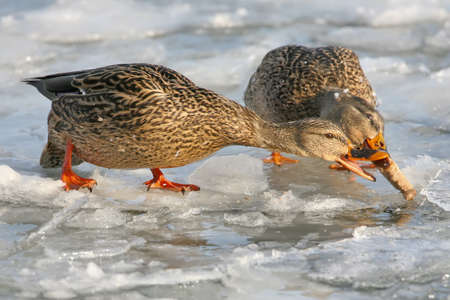 The mallard  (Anas platyrhynchos) Fight for food on the ice of the river