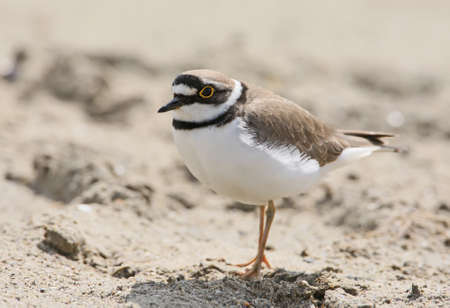 Close up portrait of ringed plover in breeding plumage on the sand.