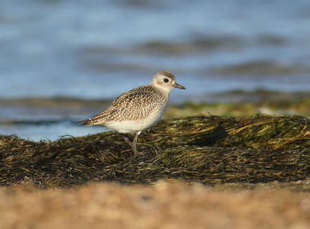 Golden plover in winter plumage on the shore Stock Photo