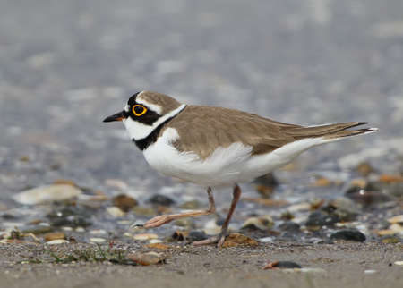 A male of ringed plover close up